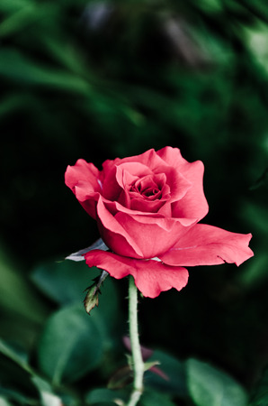 res: single res rose is blooming naturally. Stock Photo