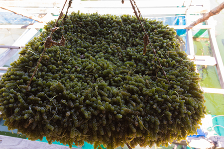 Green caviar seaweed from a farm, fresh and unclean.