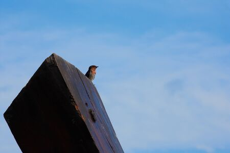 a Swallow Bird on blue sky background. Stock fotó