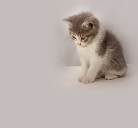 Adorable gray and white kitten searching for a mouse