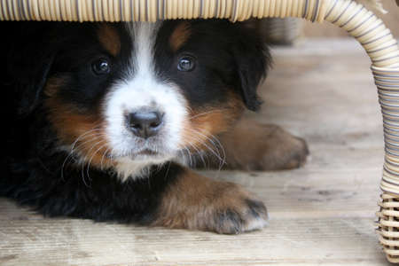 Adorable Puppy Bernese Mountain Dog Hidden Under a Table photo