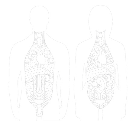 testicle: Vector illustration of sected bodies, man and woman with drawn outlined inner organs. This vector supplements the raster anatomical figures. Illustration