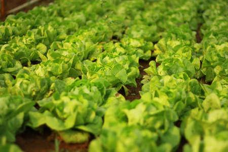 cos: Baby Cos Lettuce