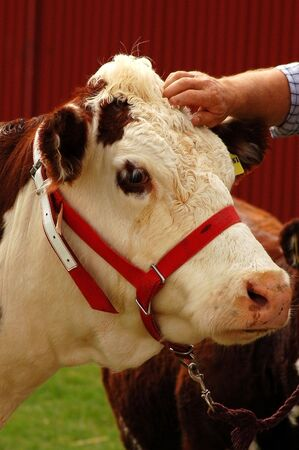 hereford: Hereford cow