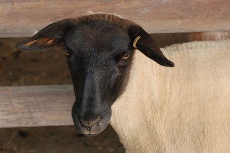 ovine: Suffolk black-faced sheep Stock Photo