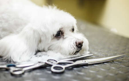 haircut: Cute Maltese dog enjoying haircut.
