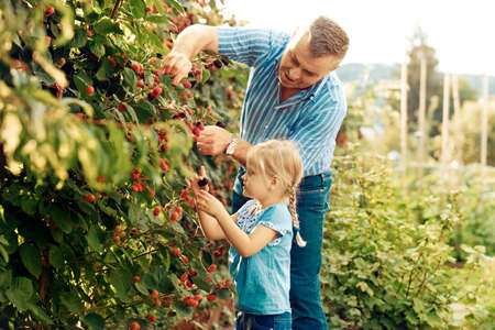 Grandfather is picking up blackberry with his granddaughter. Reklamní fotografie - 84997899