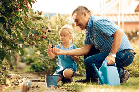 Grandfather is picking up blackberry with his granddaughter.