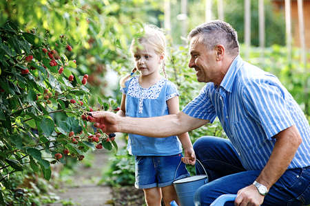 Granddaughter is picking up blackberry with her grandfather in the garden. Фото со стока