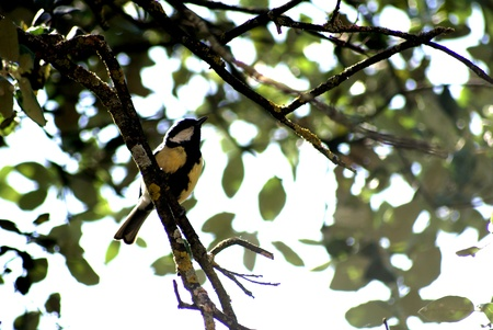 Parus major on a branch in the sierra in granada photo