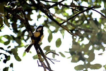 Parus major on a branch in the sierra in granada photo