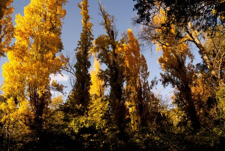 yellows: Forest trees of yellows in the autumn