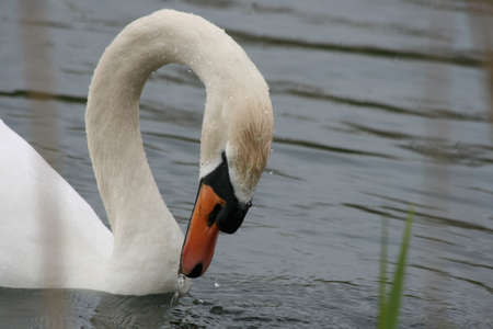 Close-up of a eating white swan photo