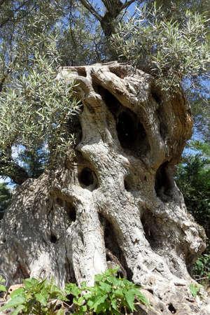 dandelion snow: old olive tree on Lefkada island