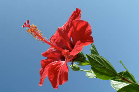 Red greek flower photo