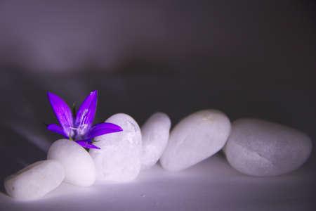 violette fleur: fleur pourpre sur pierres blanches