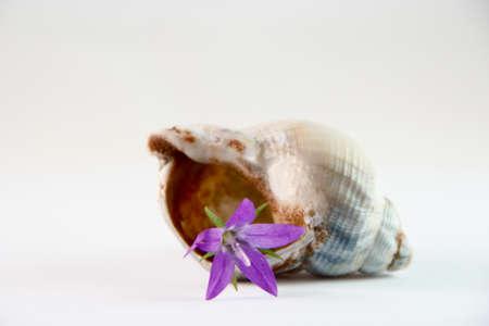 violette fleur: fleur pourpre dans une coquille Banque d'images