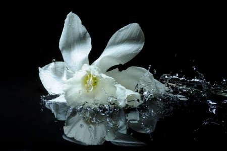 daffodil splash