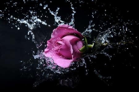 lavender rose splash Standard-Bild