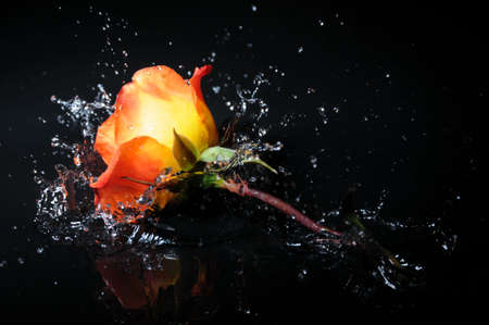 orange rose splash Stock Photo