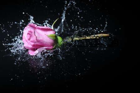 reflection: lavender rose splash Stock Photo