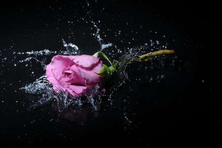 lavender rose splash Stock Photo