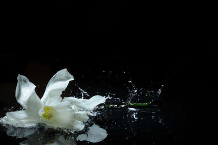white daffodil splash photo