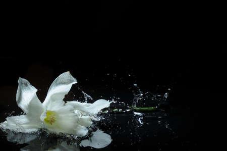 white daffodil splash