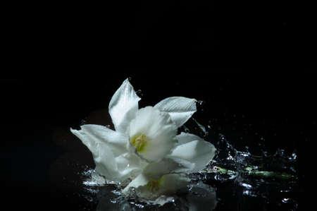 white daffodil splash photo