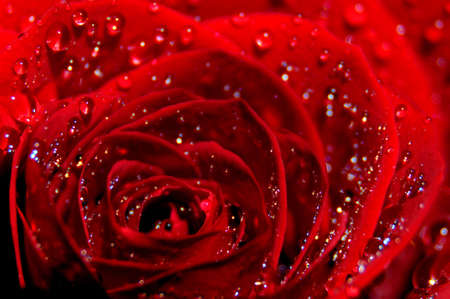 red rose splashed with water