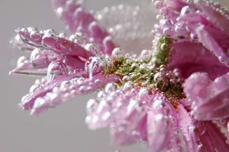 effervescence: pink gerbera