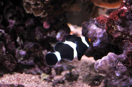 false percula: black and white false percula clownfish Stock Photo
