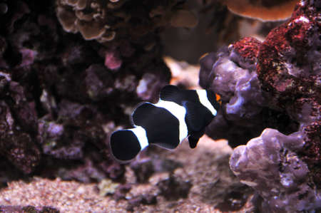 black and white false percula clownfish Stock Photo