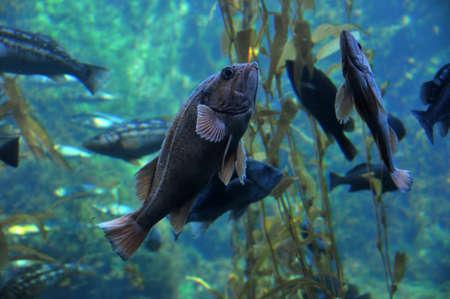 lanceolatus: groupers Stock Photo