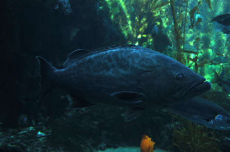 lanceolatus: grouper Stock Photo