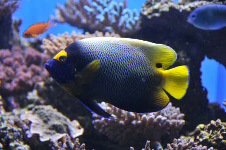 yellow mask angelfish photo