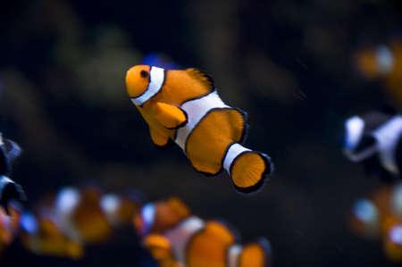clownfish Stock Photo - 6032142