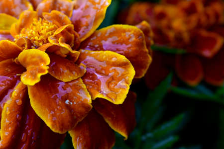marigolds in a flowerbed after rain
