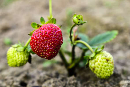 ripe strawberries in the garden
