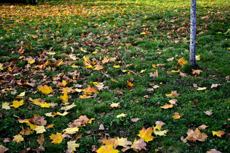 fallen maple leaves in the grass