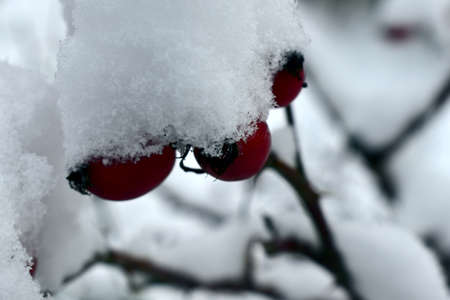 first snow on rose hips