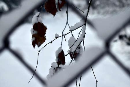 snow stuck to birch leaves