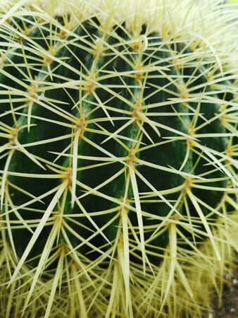 Cactus needles close-up. Plants of the desert. Houseplant. Green cactus.yellow needles