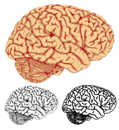 cerebral: Vector. Human brain