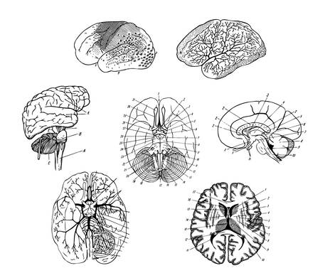 Vector  Human brains structure Illustration