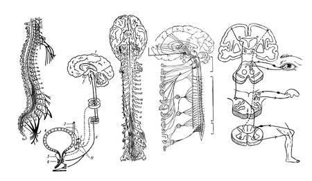 klatki piersiowej: Vector Centralny układ nerwowy Ilustracja