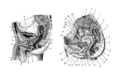 Vector  Human sex organs Vector