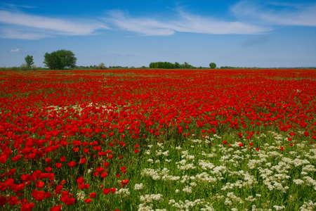 poppy: De ancho prado con amapolas rep y flores blancas de la pradera