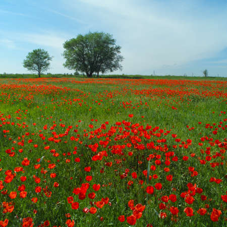 fleurs des champs: Wide meadow with red poppies and trees