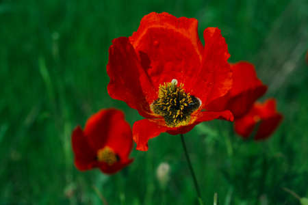 Wide meadow with rep poppies